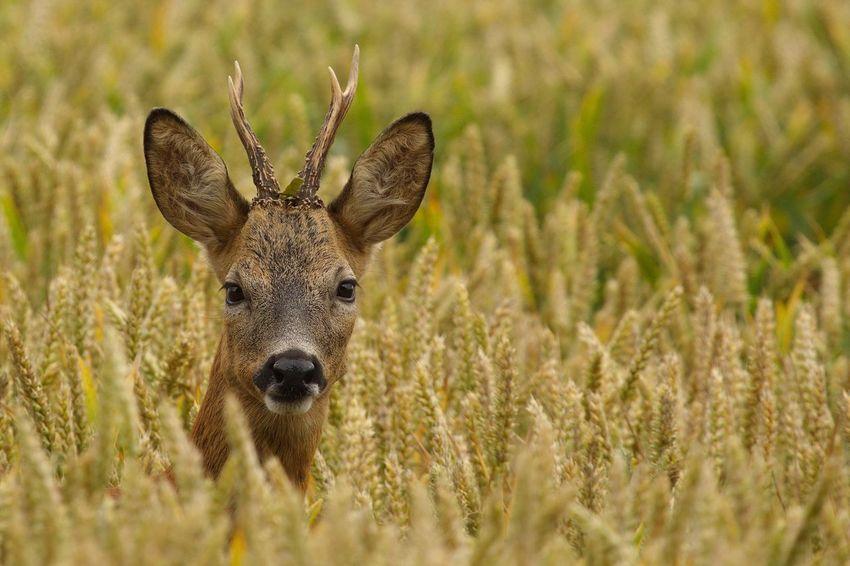 Reebok Tarwe Roe Deer Roebuck Ree