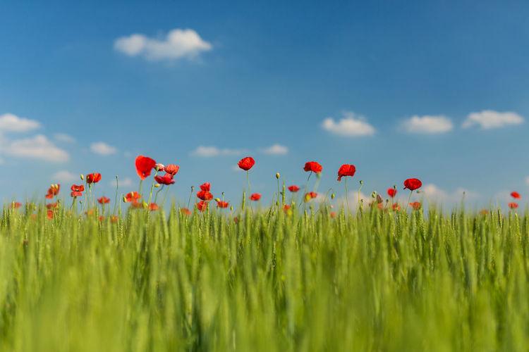 Red poppy flowers against sky