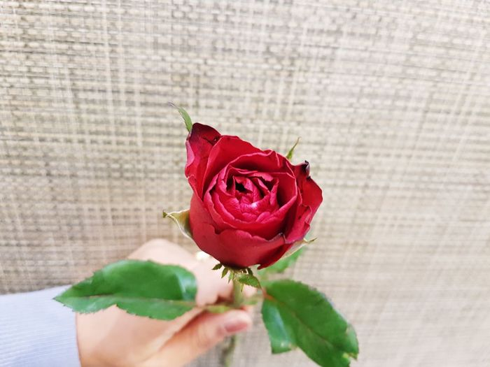 A hand is holding a red rose