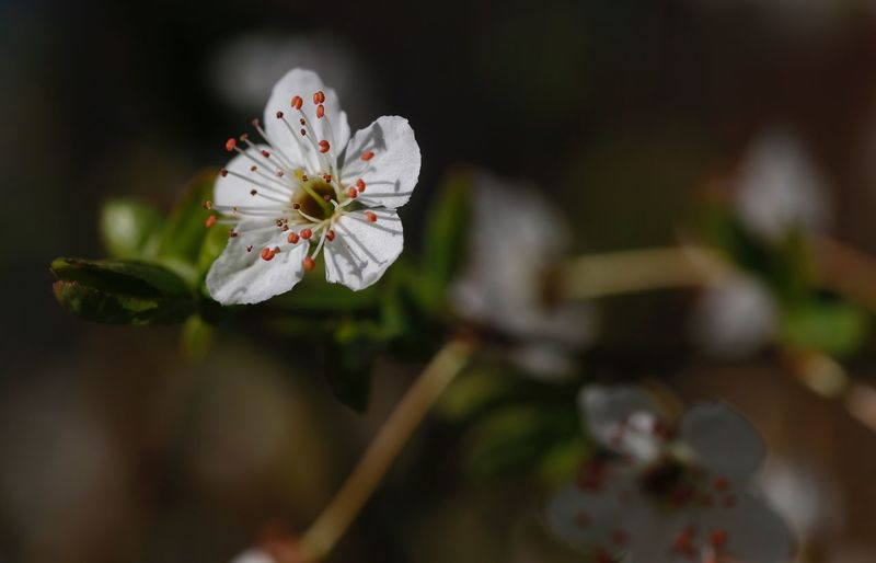 Kirschblüten Pfirsichblüte Flower Flowering Plant Plant Growth Beauty In Nature Fragility Freshness Vulnerability  Focus On Foreground Petal Close-up Flower Head Pollen White Color Inflorescence Nature No People Day Blossom Springtime