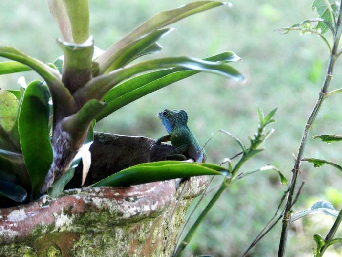 Anolis Lizzard Reptile Jamaica Anolis Sagrei Springtime