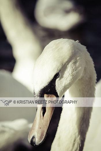 swan in the alster lake in hamburg Hamburg EyeEm Best Edits EyeEm Best Shots Eyem Hamburg