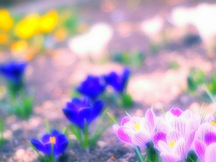 Showcase March 春 EyeEm Nature Lover Bokeh Bokeheffect Takumar Airy Flowers Fleshyplants Colors Spring Flowers Crocus Crocus Flower