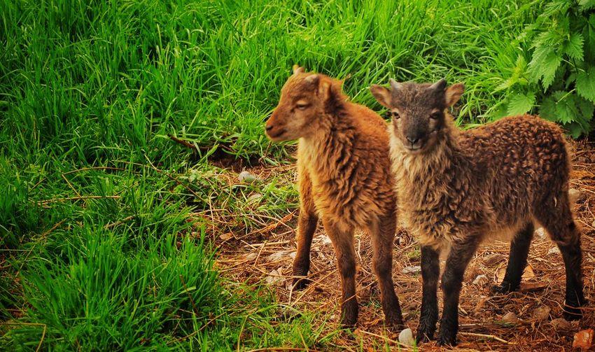 Two Soay Lambs Sheep Soay Lambs Animals Walking Around Shropshire RareBreed