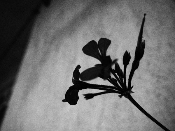 -Sezen Aksu EyeEm Gallery EyeEm Nature Lover EyeEm Selects EyeEm Eyeemphotography Flower Flowers Flowering Plant Flowers, Nature And Beauty Flower Photography Bnw Bnw_collection Bnwphotography Bnw_life Blackandwhite Black & White Blackandwhite Photography Turkey Shadow Sky Close-up Pollen Cosmos Flower Flower Head Single Flower
