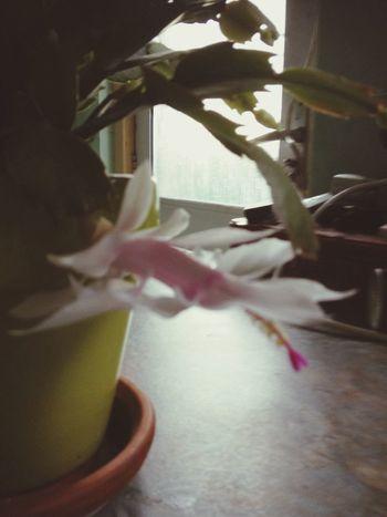 my white christmas cactus actually flowering