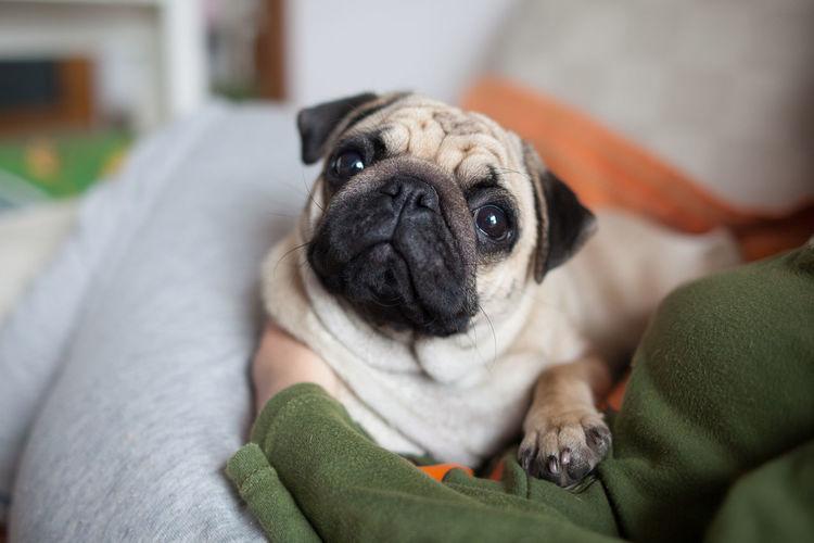 pug Carlino Love Pug Canine Cute Dog Domestic Domestic Animals Lap Dog Mammal No People One Animal Pets Pug Small Vertebrate