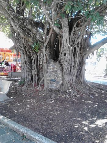Nature Photography Old Tree Majestic Nature Tree Tree Spirit Plaza De Caguas Puerto Rico