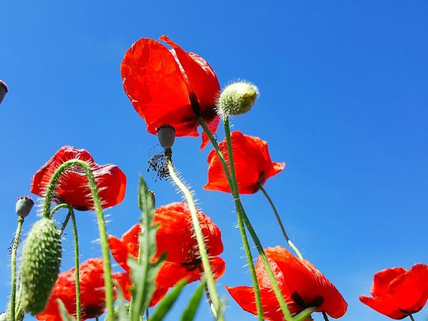 Red And Blue Red Flowers Poppy Flowers Field Flowers Mallorca Spring On Mallorca Flower Growth Nature Plant Low Angle View Beauty In Nature Fragility Red Sky Poppy Outdoors Day Blue Springtime Flower Head Close-up Freshness Clear Sky