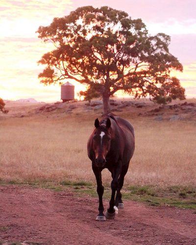 Dear old Gunner!! Horse Outdoors Sunset #sun #clouds #skylovers #sky #nature #beautifulinnature #naturalbeauty #photography #landscape Beautiful_light Farm Animal Themes Australia Sunrise Sunrise N Sunsets Worldwide  Sunrise_sunsets_aroundworld Nenaghpastoral