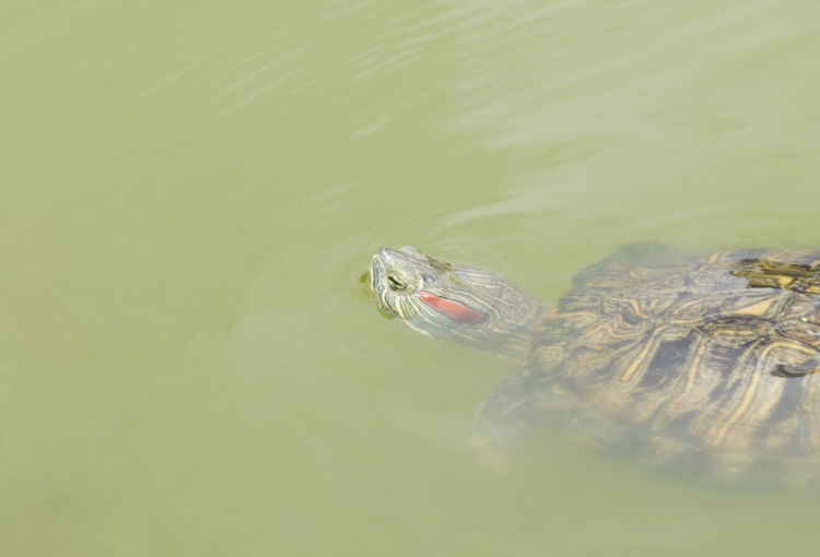 Turtle Swimming In Water