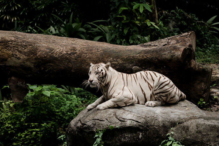 Side view of white tiger sitting on rock in forest