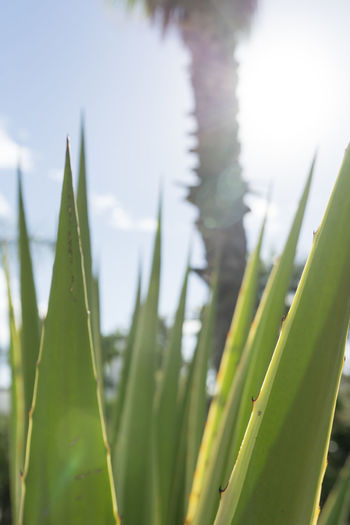 SPAIN Tropical Tropical Tree Tropical Plants Tropical Plant Greenery Growth Plant Green Color Nature Close-up Day Beauty In Nature Selective Focus Succulent Plant Focus On Foreground Sky Cactus No People Land Outdoors Sunlight Spiked Tranquility Blade Of Grass