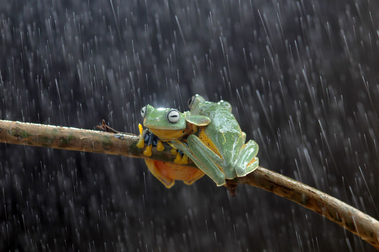 Wallace's flying frog, tree frog on a branch Animal Wildlife One Animal Animal Themes Animal Animals In The Wild Focus On Foreground Nature Vertebrate Wood - Material Day Motion Water No People Close-up Outdoors Rain Amphibian Wet Drop RainDrop