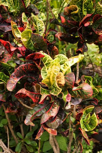 Beautiful Codiaeum Variegatium Colors Croton Garden Croton Plant Red Beauty In Nature Close-up Color Day Foliage Fragility Freshness Garden Green Color Growth Houseplant Leaf Leaves Nature No People Outdoor Outdoors Plant Variegated Laurel