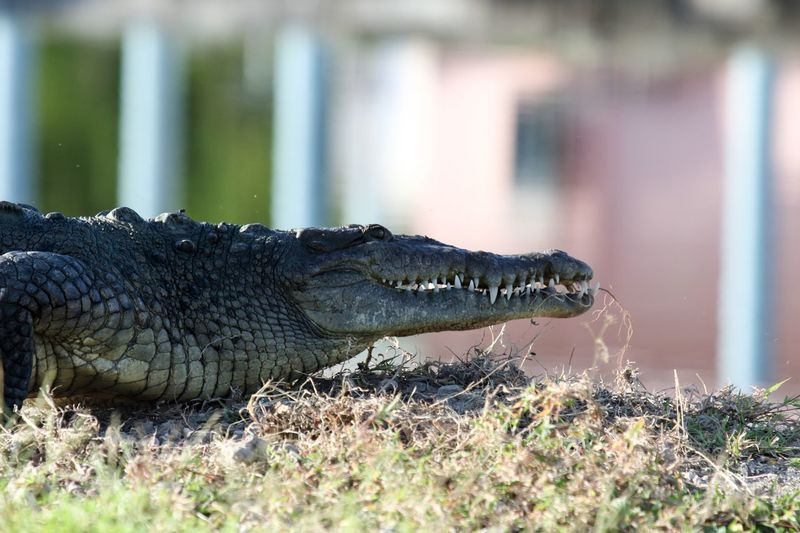 Side view of crocodile at everglades national park