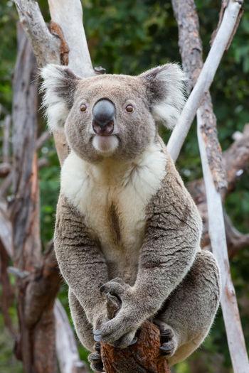 Portrait of koala relaxing on plant
