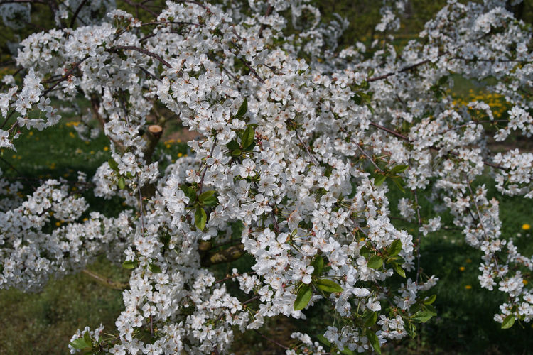 Nature Near Us Oak Trees Spring Has Arrived Blossom Tree Smelling The Flowers Trees Nearby White Flower In Nature Wonder Of Seasons