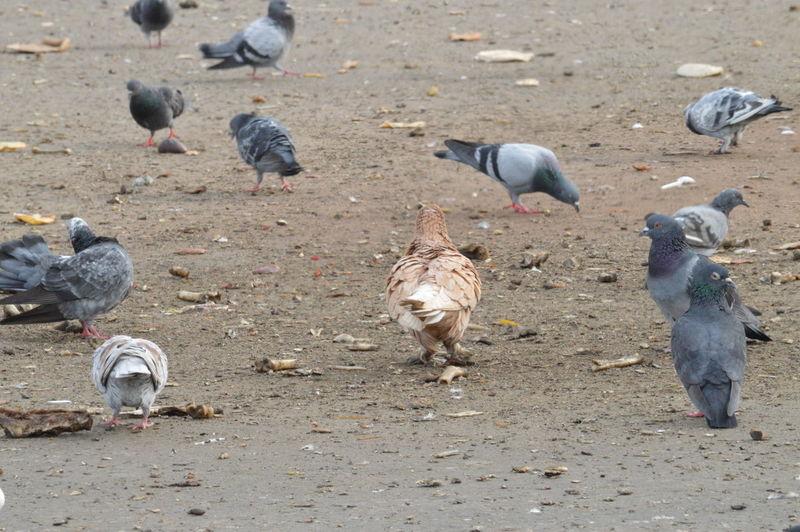 High angle view of pigeons feeding