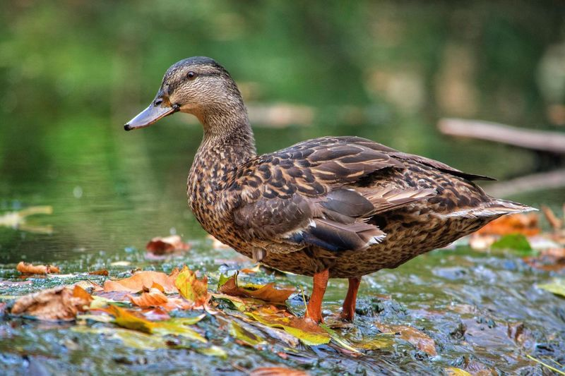 Duck Animal Animal Themes Animals In The Wild Animal Photography Animals Bird Animals In The Wild One Animal Focus On Foreground Day Animal Wildlife Nature Water Lake Outdoors No People Close-up The Week On EyeEm