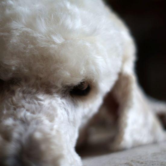 Animal Dog Poodle Pudel