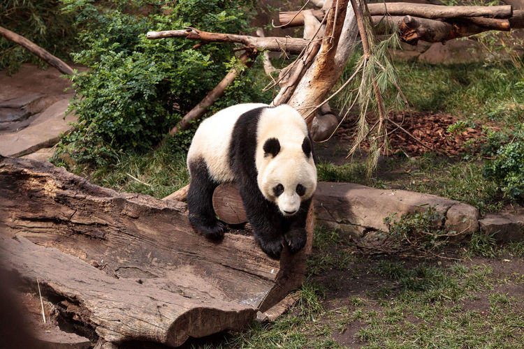 Young giant panda bear known as Ailuropoda melanoleuca on the hunt for bamboo to eat. Ailuropoda Melanoleuca Animal Themes Animals In The Wild Bear China Day Giant Panda Giant Panda Mammal Mammals Nature No People One Animal Outdoors Panda Panda - Animal Panda Bear Wild Wildlife