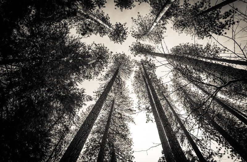 Yosemite Low Angle View Tree Forest Tree Trunk Branch Growth Scenics Tall - High Tall Tranquility Tranquil Scene WoodLand Nature Sky Beauty In Nature Day Directly Below Outdoors Green Non-urban Scene Blackandwhite Yosemite National Park Snow