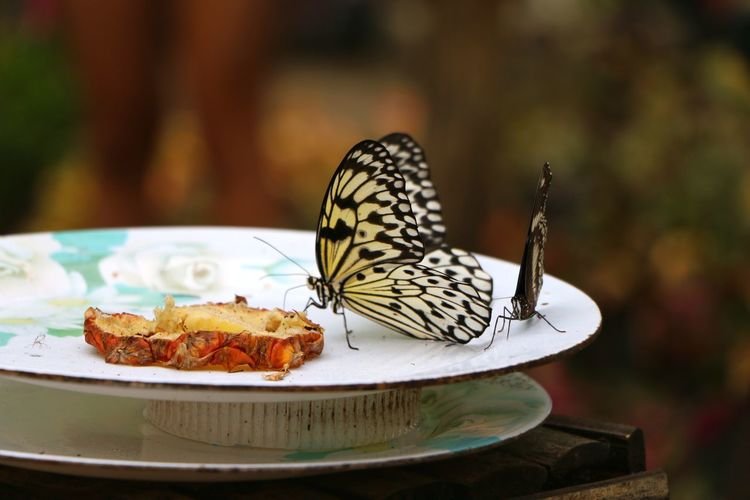 Close-Up Of Butterfly On Plate