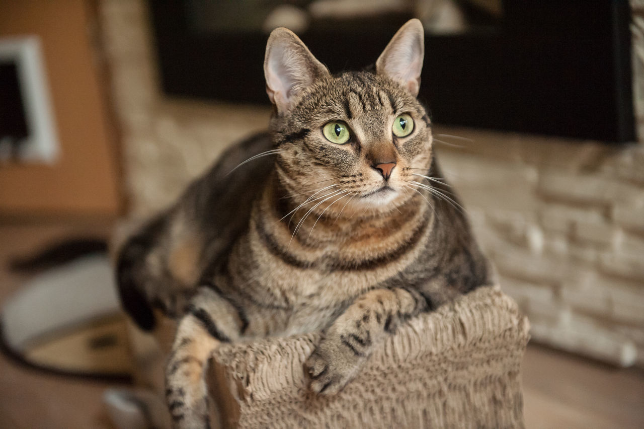 domestic cat, one animal, animal themes, pets, mammal, indoors, domestic animals, looking at camera, home interior, feline, portrait, sitting, no people, close-up, day