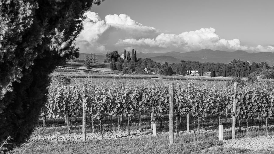 Vineyards of the Collio. Black and white Landscape Land Cloud - Sky Field Scenics - Nature Tranquil Scene Beauty In Nature Rural Scene No People Tranquility Growth Agriculture Outdoors Plant Nature Blossoms  Amazing View Above Clouds Vino Vigneti Sunny Photography Wineyard Gorizia Dobrovo