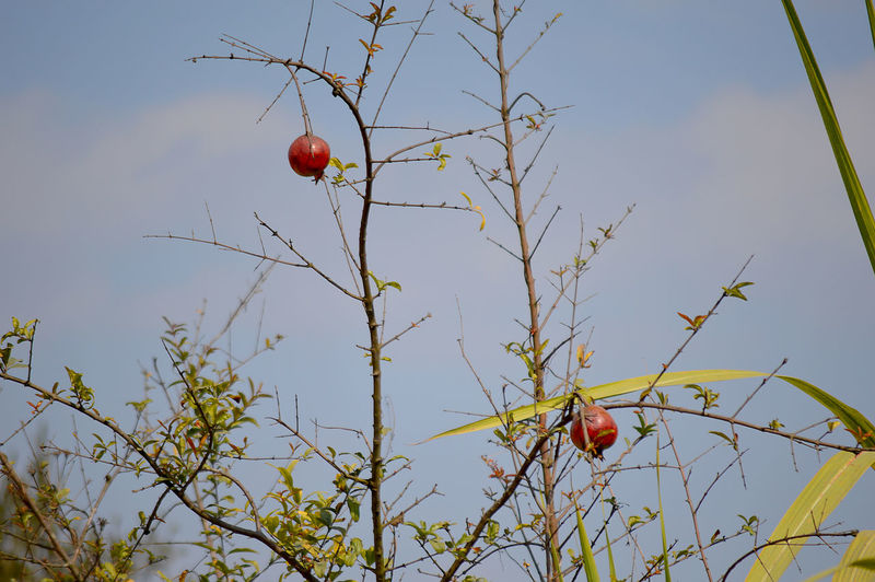 Bare Tree Blue Sky Blue Sky And Clouds Branch Close-up Day EyeEm Gallery Fruit Fruits Leaf Nature Nature Nature Photography Nature_collection Naturelovers No People Outdoors Pomegranate Pomegranates  Premium Collection Red Red Red Fruits Sky Tree