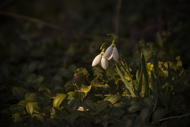 Close-up of snowdrop growing on field