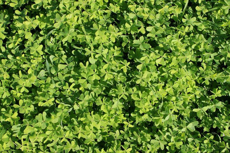 Abstract Allgreen Backgrounds Clover Day Details Full Full Frame Grass Green Green Color Growth Healthy Leaf Leaves Minimal Nature Nature Details No People Shaped Texture Translucent