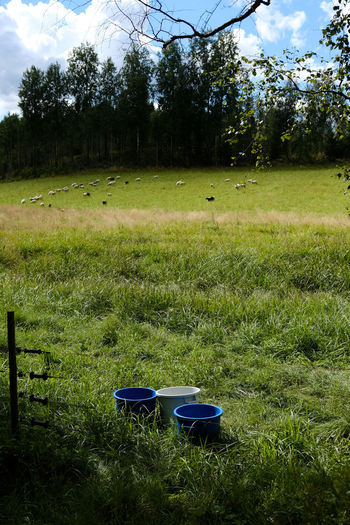 Beauty In Nature Buckets Day Field Grass Grassy Green Green Color Growth Landscape Lawn Mammal Nature No People Outdoors Plant Remote Rural Scene Scenics Sheep Sheeps Sky Tranquil Scene Tranquility Tree