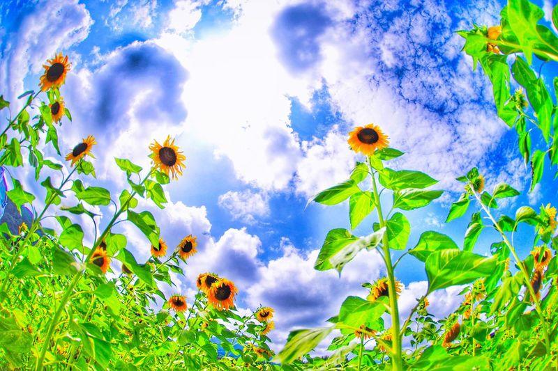向日葵 菰野町 Sky Flower Nature