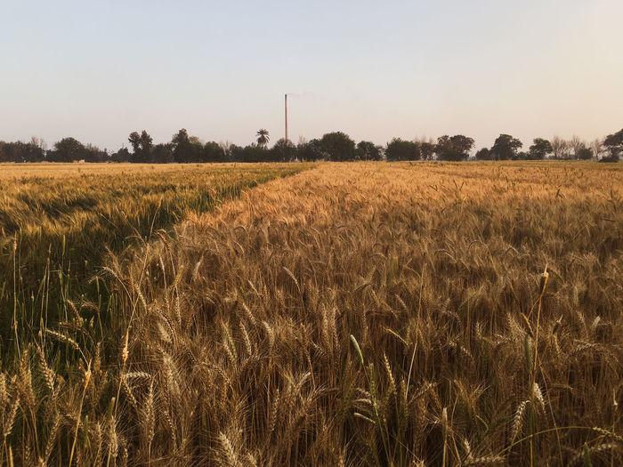 Egypt Wheat