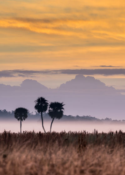 Three palmetto trees in field with morning fog. Cabbage Palm Tree Palmetto Beauty In Nature Everglades  Field Florida Fog Landscape Sillhouette Silloette Sky Three Trees Tranquil Scene