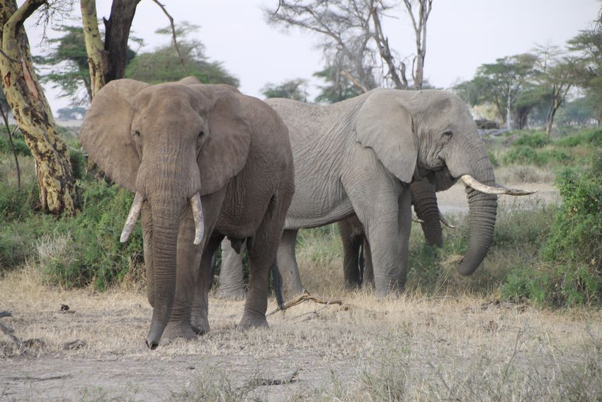 Elephant Tree Animals In The Wild Animal Wildlife African Elephant Animal Themes Animal Mammal Animal Trunk Nature Full Length Walking No People Young Animal Tusk Day Outdoors Togetherness Tanzania