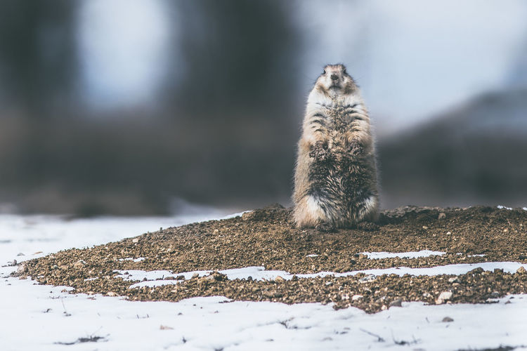 Animal Animal Themes Animal Wildlife Animals In The Wild Cold Temperature Day Field Focus On Foreground Land Mammal Nature No People One Animal Outdoors Rodent Selective Focus Snow Surface Level Vertebrate Winter