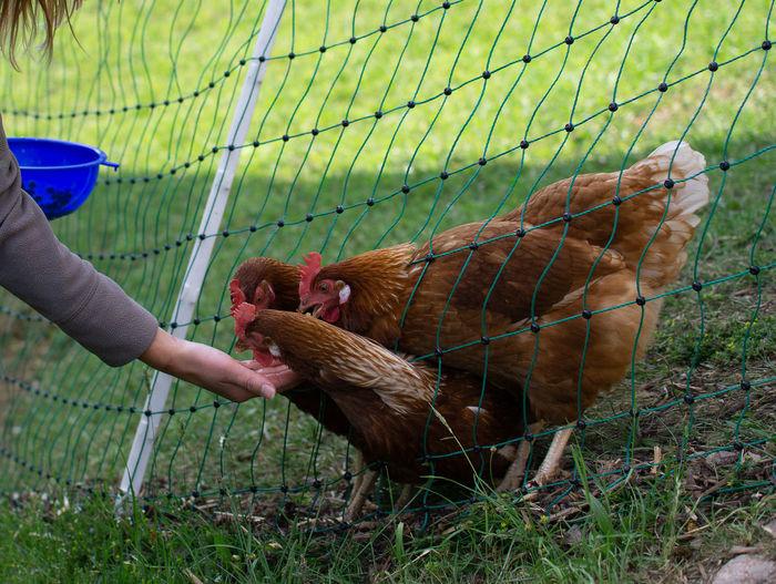 Hühnerfütterung Bodenhaltung Chicken Eier Futter Haustier Hühner Tiere Barrier Day Eierlegende Wollmilchsau Food Futtern Glücklich Hand Handfütterung Haustiere Human Hand Land Landleben Landwirtschaft