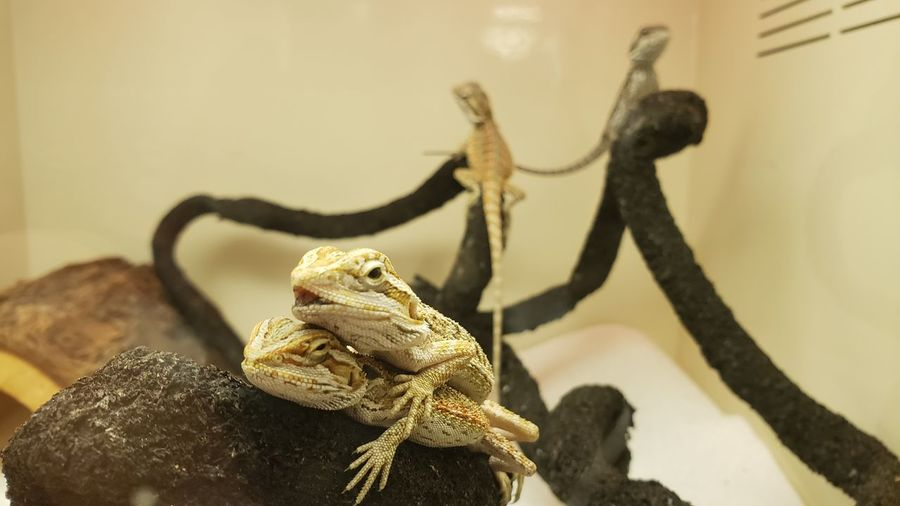Baby Dragons Baby Dragon Beardies Close-up Animal Themes Lizard Reptile Bearded Dragon