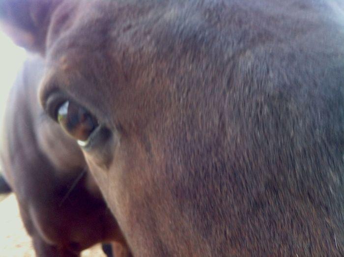 Cavallo Horse Nabucco