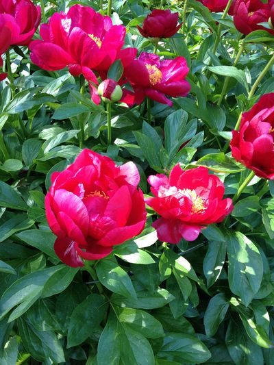 Deep Red Peony Photography May 2017 Beauty In Nature Blooming Close-up Day Flower Flower Head Fragility Freshness Green Color Growth Leaf Meriangärten Nature No People Outdoors Peonies In Bloom Petal Plant Red