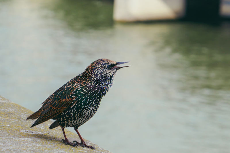 Starling Sturnus Vulgaris étourneaux Sansonnet Paris France La Seine Nature Bird Water Animal Themes Songbird