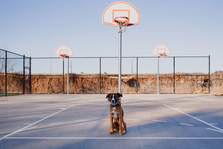 Portrait of dog sitting on basketball court