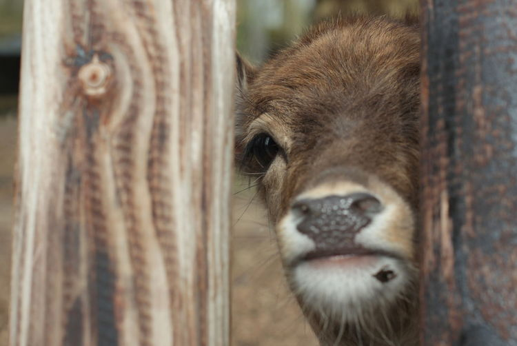 Close-up of calf by wooden fence
