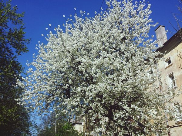Plum Blossom Blue Sky Spring Time German House