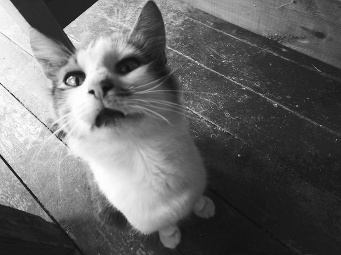 Monochrome Photography Domestic Animals One Animal Domestic Cat Pets Animal Themes Cat Mammal Feline Whisker Zoology Day Animal Head  Animal No People