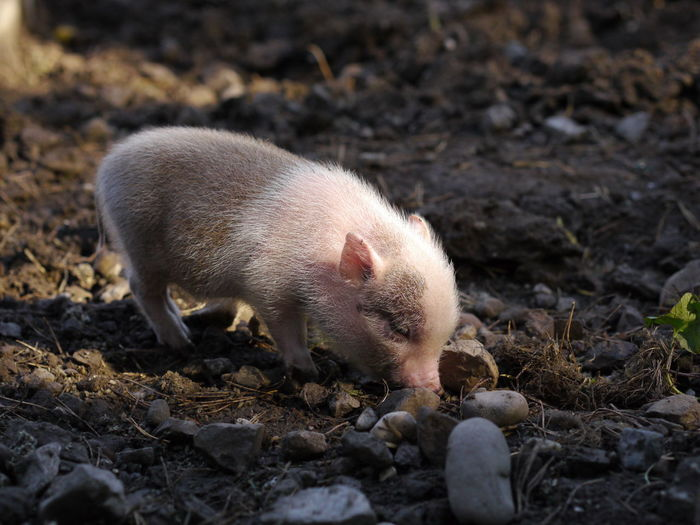 Close-up of piglet standing on field