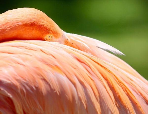 Flamingo JGLowe Bird Animal Themes Animal Vertebrate Animals In The Wild Animal Wildlife Flamingo Close-up One Animal Orange Color Focus On Foreground Day No People Feather  Animal Body Part Nature Beauty In Nature Outdoors Beak Animal Neck